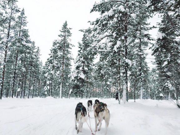 Finlandia huskies
