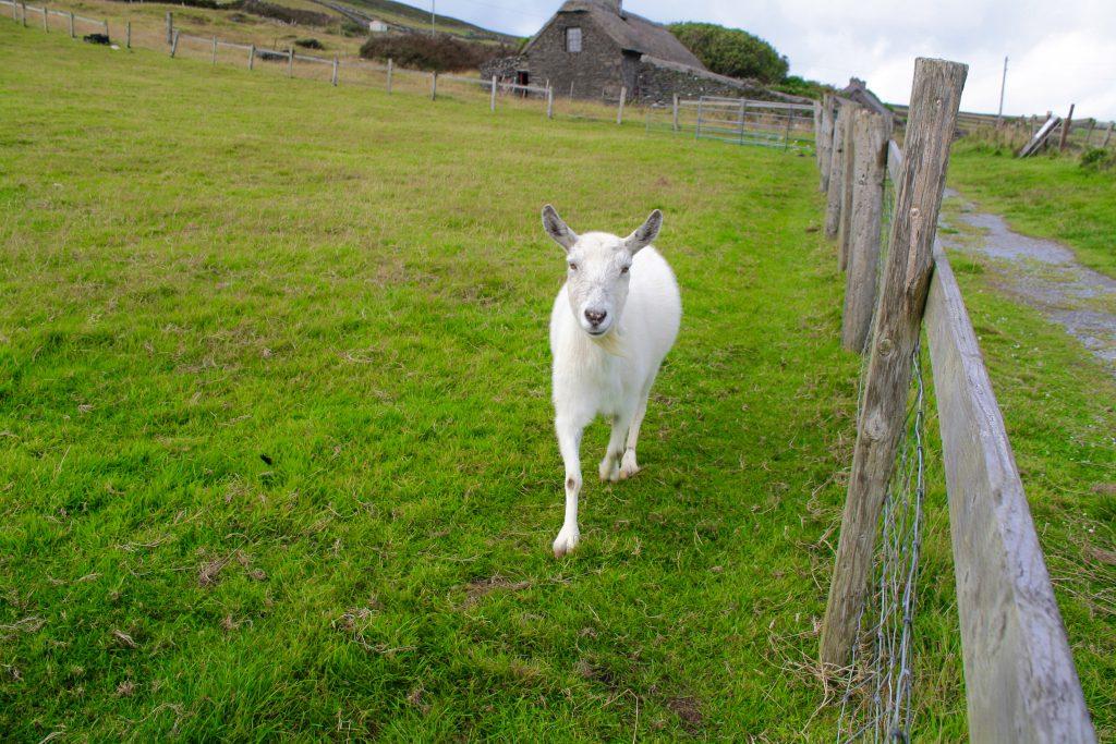oveja blanca en connemara