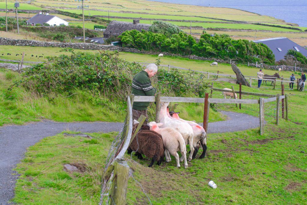 TJ alimentando a ovejas en granja de Connemara