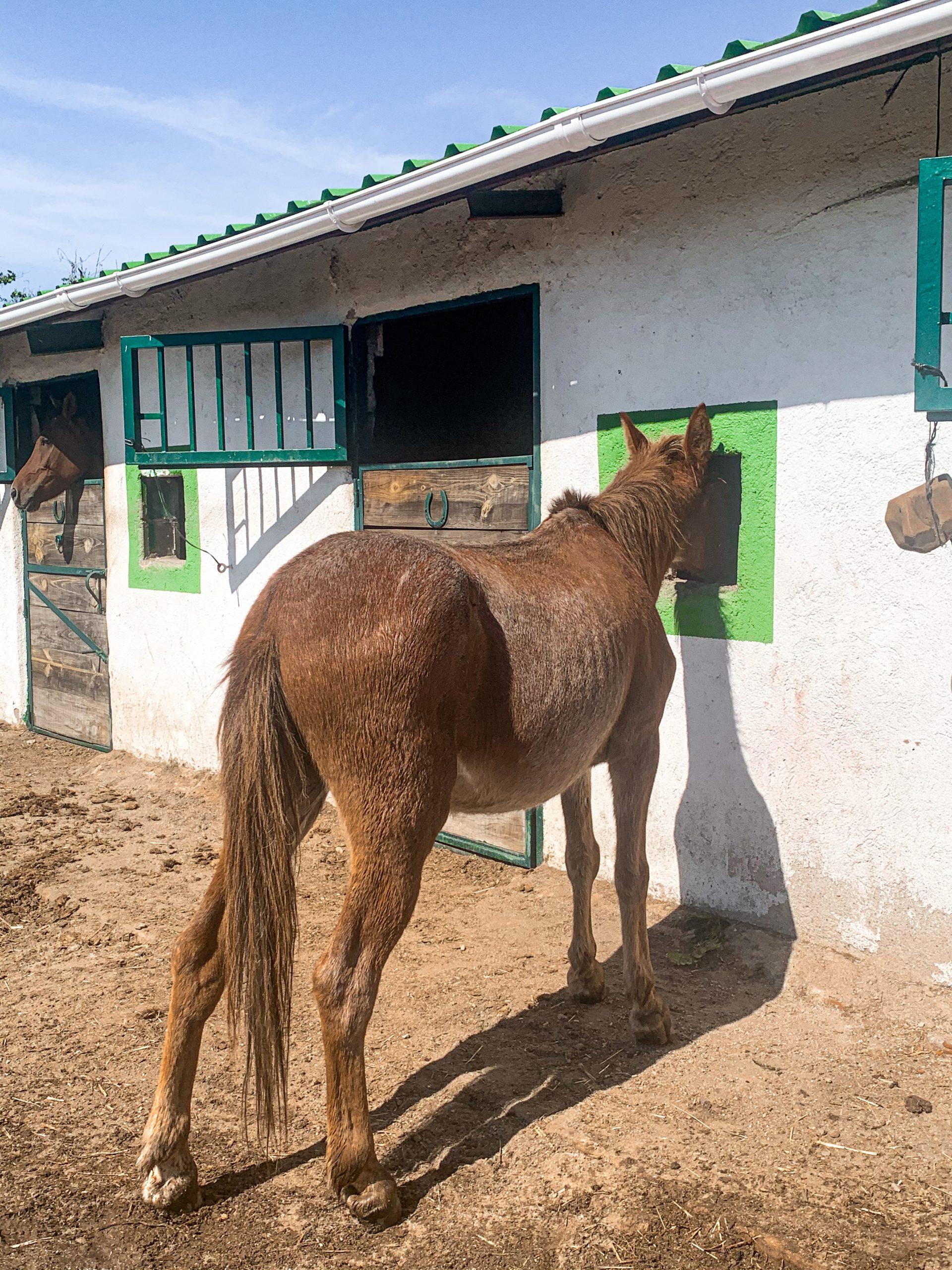 Farolillo, un mulo entrañable en Lanzahíta